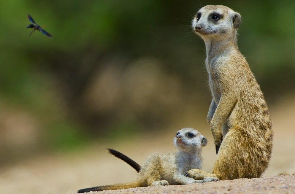 Meerkats cropped