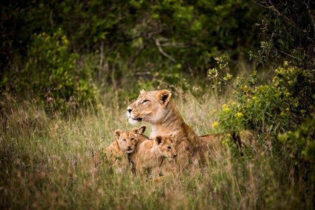 lions segura