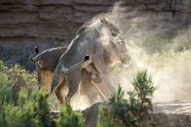 nam 14 lions