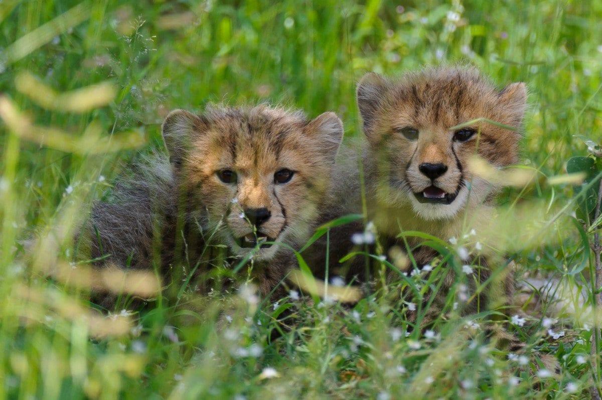 Cheetah Cubs (c) WS Russel Friedman.jpg