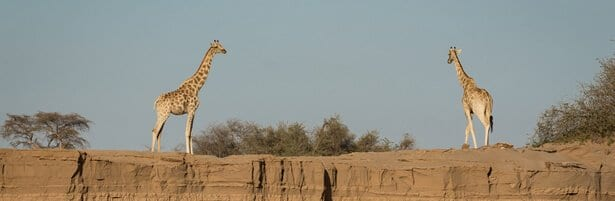 giraffe-double