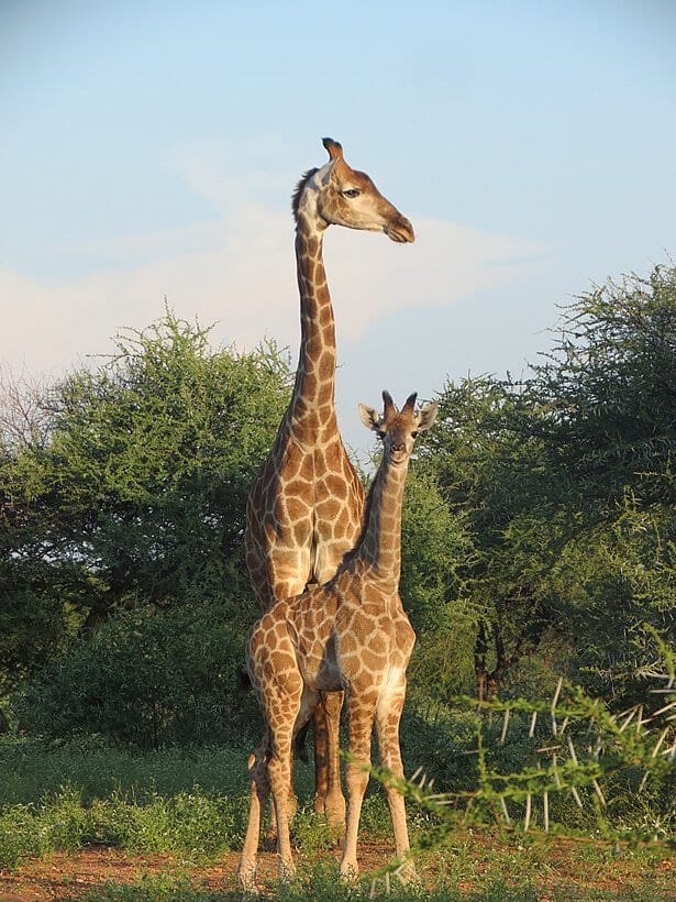 10 amazing giraffe facts you probably didnt know