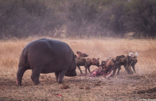 hippo_vs_wild_dog