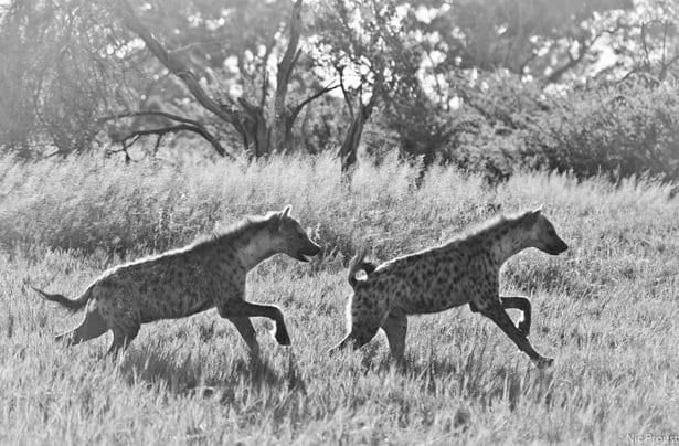 image-3-hyenas-on-the-run