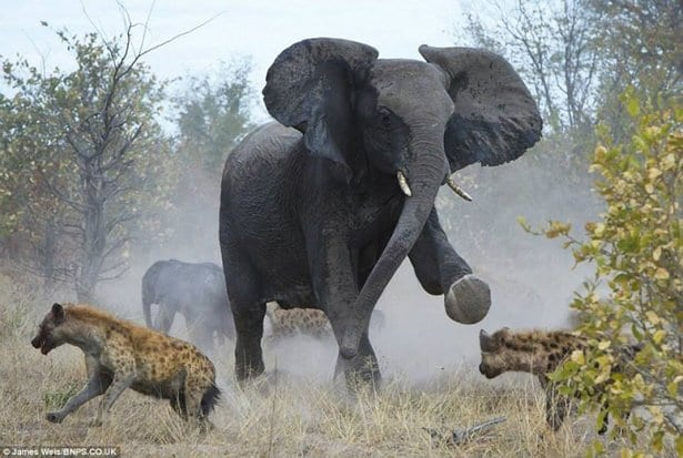 image-4-elephant-vs-hyena