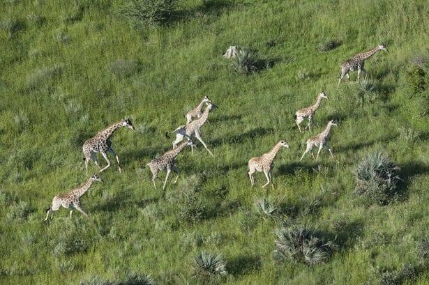giraffe_aerial_3_chit-2