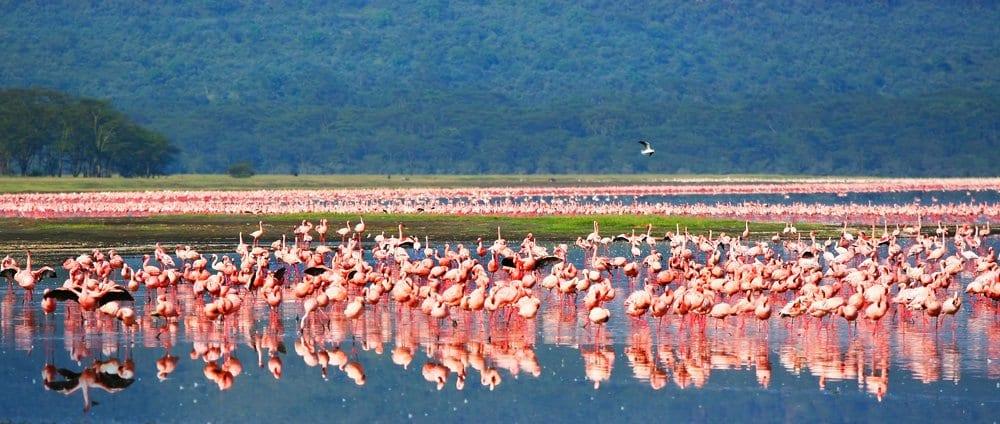 panoramic African safari, flamingos in the lake Nakuru, Kenya