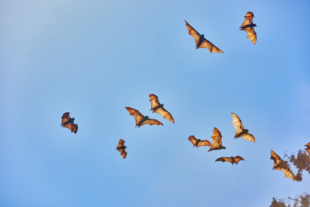 group of fruit bats flying